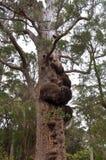 Marri drzewo: Walpole pustkowie zdjęcie royalty free