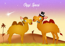 Marriage of camels Royalty Free Stock Photography