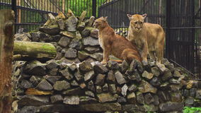 The marriage between the couple cougars stock video footage