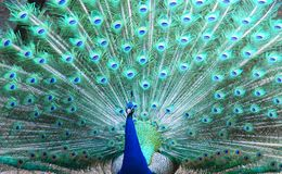 Marriage dance of the peacock. In zoo Royalty Free Stock Images