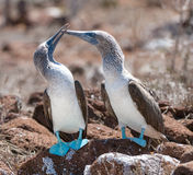 Marriage dances of Blue-footed Boobyis Stock Photography