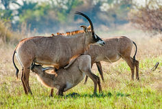 Marriage games of Roan antelope. Stock Photography