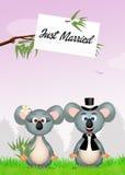 Marriage of koalas Stock Photo