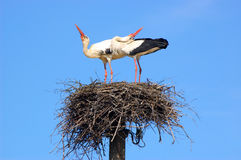 Marriage ritual of storks Stock Photo