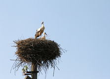 Married couple of storks in a nest. Royalty Free Stock Image