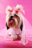 Married shih-tzu. A shih-tzu in a wedding gown stock photo