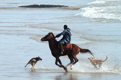 Marrocan rider. Marrocan guy was playing with his horse and dogs Stock Image