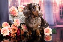 Marrom do cachorrinho do bassê bronzeado foto de stock