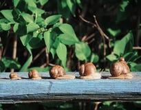 Marrom do caracol no backgroud verde que compete na madeira fotografia de stock