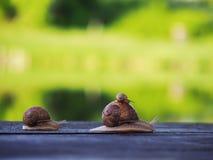 Marrom do caracol no backgroud verde que compete na madeira fotos de stock royalty free