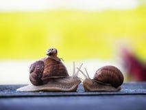Marrom do caracol no backgroud verde que compete na madeira foto de stock royalty free