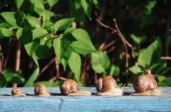 Marrom do caracol no backgroud verde que compete na madeira fotos de stock