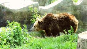 Marrom do urso imagens de stock