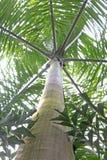 Marrom tropical do rei Imagens de Stock