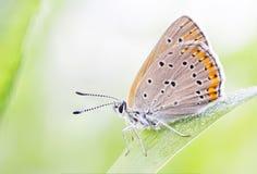 Marrone arancio buttefly su una foglia della pianta Immagini Stock