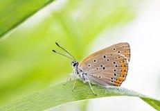 Marrone arancio buttefly su una foglia della pianta Fotografia Stock Libera da Diritti