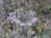 Marrone bianco dell'erba del fiore di autunno immagine stock