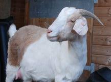 Marrone bianco della capra boera Fotografie Stock Libere da Diritti