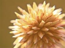 Marrone della macrofotografia del primo piano del cardo selvatico Fotografia Stock