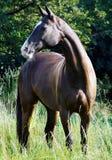 Marrone scuro che sta nell'alta erba verde Fotografie Stock