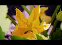 Marrow Flower, future fruit. A sunny-yellow flower of a marrow plant in a vegetable garden on a bright summer morning, opening its petals, buds with green leaves stock photography