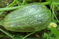 Marrow In Vegetable Garden Royalty Free Stock Photography