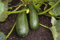 Marrow plant. Marrows growing in garden in summer Stock Photography