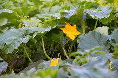 Marrow ripening on warm spring day in the garden. Young zucchini. Plant blooming with yellow flower stock image