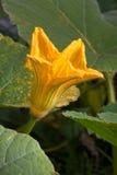 Marrow squash flower in the garden Stock Image