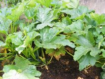 Marrow or zucchini bed, organic traditional plant of cuisine of Belarus. Marrow bed, organic traditional plant of cuisine of Belarus stock photo
