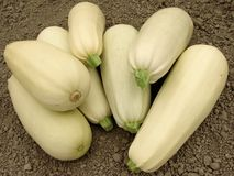 Marrows harvest Royalty Free Stock Images