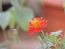 Marry gold flower Gonda. Marry gold flower, Indian name gonda stock photography