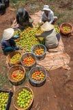 10, mars 2016 DALAT - agriculteurs moissonnant la tomate dans Dalat- Lamdong, Vietnam Photographie stock libre de droits
