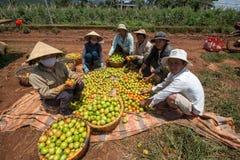 10, mars 2016 DALAT - agriculteurs moissonnant la tomate dans Dalat- Lamdong, Vietnam Images stock