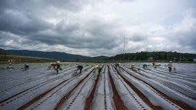 10 mars, 2016 DALAT - bonden som planterar tomaten i Dalat- Lamdong, Vietnam Arkivbilder