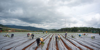 10 mars, 2016 DALAT - bonden som planterar tomaten i Dalat- Lamdong, Vietnam Arkivfoto