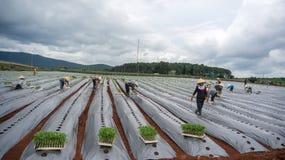10 mars, 2016 DALAT - bonden som planterar tomaten i Dalat- Lamdong, Vietnam Arkivbild