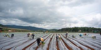 10, mars 2016 DALAT - l'agriculteur plantant la tomate dans Dalat- Lamdong, Vietnam Photo stock