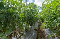 10, mars 2016 DALAT - lumière de blate sur la tomate dans Dalat- Lamdong, Vietnam Photos libres de droits