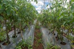 10, mars 2016 DALAT - lumière de blate sur la tomate dans Dalat- Lamdong, Vietnam Photographie stock