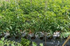 10 mars, 2016 DALAT - ny tomat i Dalat- Lamdong, Vietnam Arkivbild