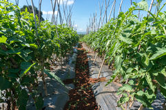 10 mars, 2016 DALAT - rad av tomaten i Dalat- Lamdong, Vietnam Arkivfoto