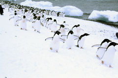 Mars des pingouins Photos stock