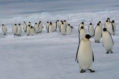 Mars des pingouins d'empereur Image libre de droits