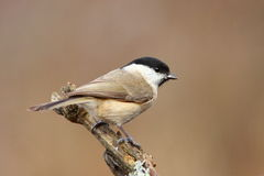 Mars tit Royalty Free Stock Photo