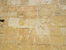 Marsa Alam, etching bull