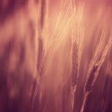 Marsala color blurred barley field Stock Photo
