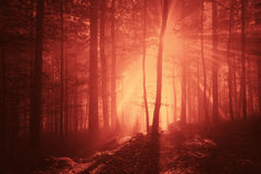 Marsala red color creepy forest light stock photography