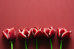 Marsala tulips Stock Images