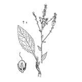 Marschallianum Verbascum Στοκ Φωτογραφίες